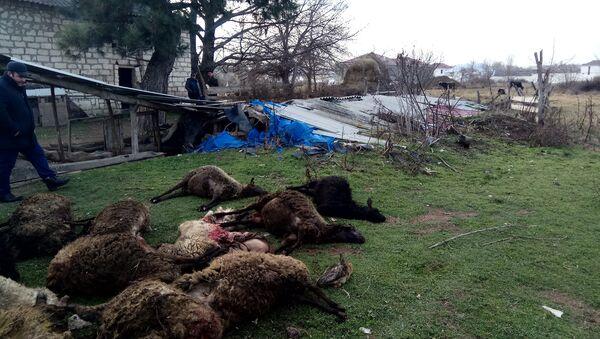 Qazaxda canavarlar xırdabuynzlu heyvanlara hücum edib - Sputnik Azərbaycan