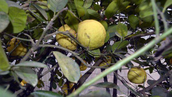 Özbək limonu - Sputnik Azərbaycan