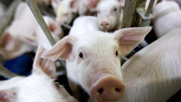 Свиньи, фото из архива - Sputnik Азербайджан