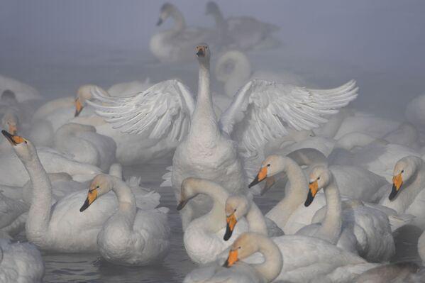 Лебеди-кликуны зимуют на Лебедином озере, расположенном на территории государственного природного комплексного заказника Лебединый в Алтайском крае - Sputnik Азербайджан