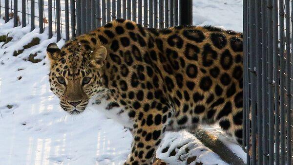 Самка дальневосточного леопарда - Sputnik Азербайджан