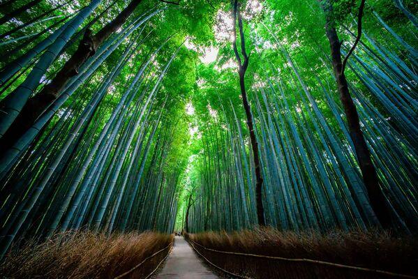 Бамбуковый лес Сагано в Японии - Sputnik Азербайджан