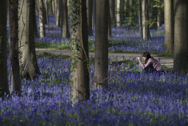 Древний лес Халлербос (Hallerbos) в Бельгии. Это необыкновенно красивые и неожиданные лесные пейзажи во время цветения колокольчиков между стволами гигантских секвой. - Sputnik Азербайджан