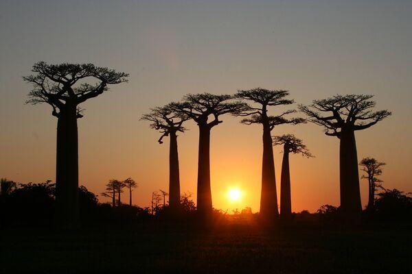 Аллея баобабов  на Мадагаскаре, произрастающих вдоль грунтовой дороги между небольшими городками Морондава и Белони Тсирибихина в регионе Менабе - Sputnik Азербайджан