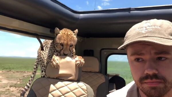 Любопытный гепард запрыгнул в машину к туристам - Sputnik Азербайджан