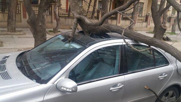 Поваленное ураганным ветром дерево в Баку - Sputnik Азербайджан