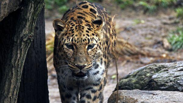 Леопард, фото из архива - Sputnik Азербайджан