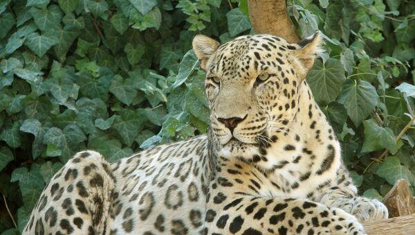 Кавказский леопард, фото из архива - Sputnik Азербайджан