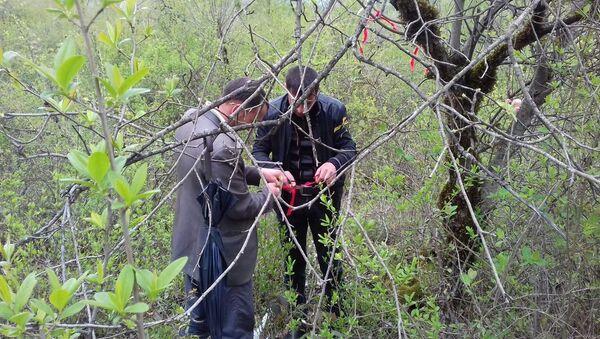 Жители села Хачмаз Огузского района привили дикорастущие деревья - Sputnik Азербайджан
