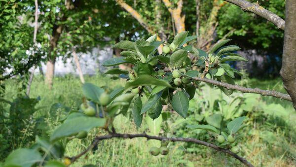 Дерево, выращенное Фираваном Мамедъяровым - Sputnik Азербайджан