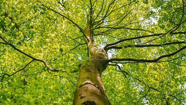 Высокое дерево, фото из архива - Sputnik Азербайджан