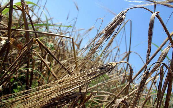 Пшеничное поле - Sputnik Азербайджан