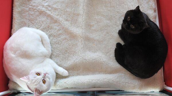 Британские короткошерстные кошки, фото из архива - Sputnik Азербайджан