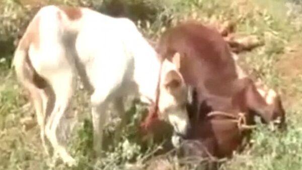 Собака пытается разбудить друга - теленка - Sputnik Азербайджан