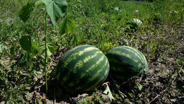 Урожай арбузов, фото из архива - Sputnik Азербайджан