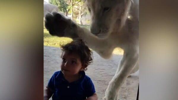 Лев пытался добраться до мальчика через стекло в зоопарке - Sputnik Азербайджан