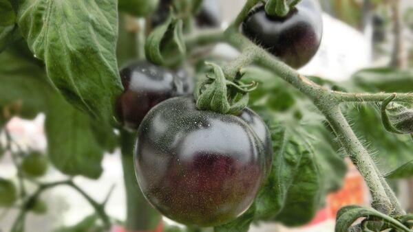 Qara pomidor - Sputnik Азербайджан