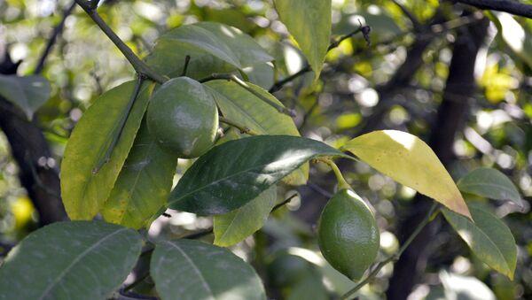 Limon ağacı - Sputnik Azərbaycan