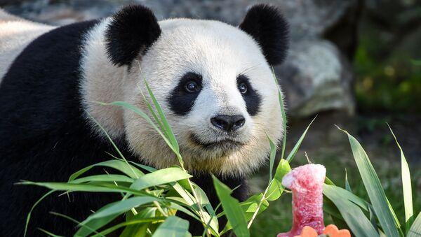 Панда, фото из архива - Sputnik Азербайджан