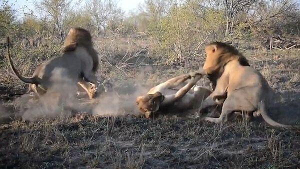 Не поделили кусок мяса: как львы атаковали голодную львицу - Sputnik Азербайджан