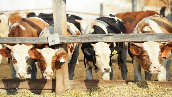 Поголовье крупного рогатого скота, фото из архива - Sputnik Азербайджан