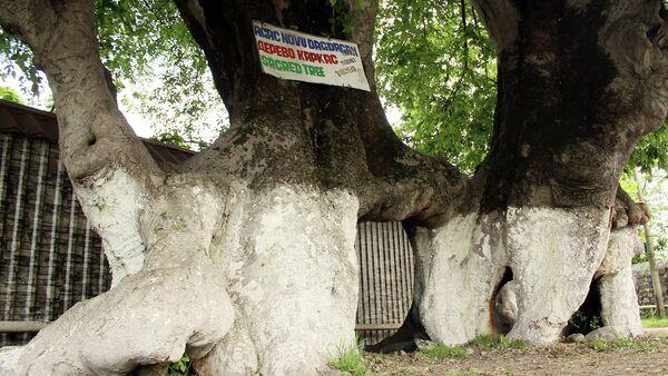 Dağdağan ağacı - Sputnik Azərbaycan