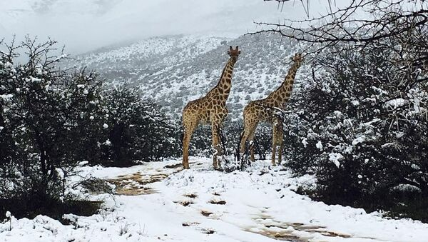 Жирафы в снегу в регионе Кару в Южной Африке - Sputnik Azərbaycan