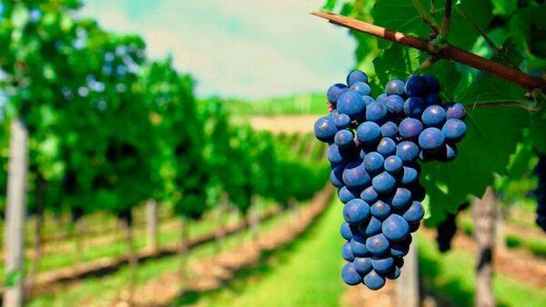 Виноград, фото из архива - Sputnik Азербайджан