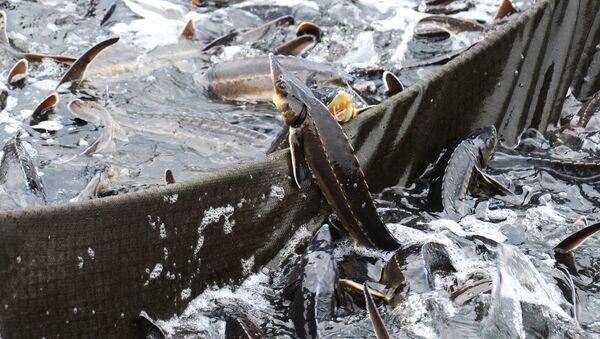 Осетр в садковой линии в рыбоводческом комплексе Тамбовский осетр - Sputnik Azərbaycan