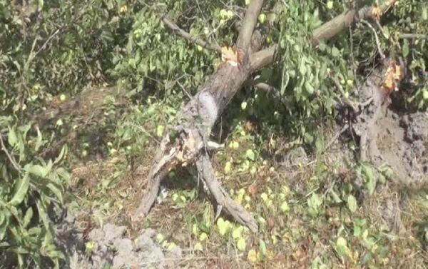 Уничтоженные яблони в саду фермера Назима Мамедова - Sputnik Азербайджан