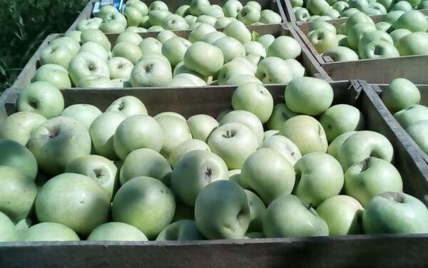 Сбор яблок - Sputnik Азербайджан