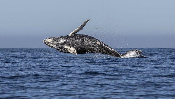 Горбатый кит, фото из архива - Sputnik Азербайджан