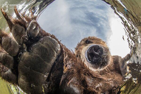 Снимок Любопытный медведь фотографа Mike Korostelev, занявший третье место в номинации Новые технологии в фотографии дикой природы фотоконкурса The Golden Turtle 2018 - Sputnik Азербайджан