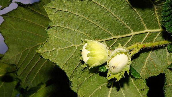 Зеленые плоды на ореховом дереве, фото из архива - Sputnik Азербайджан