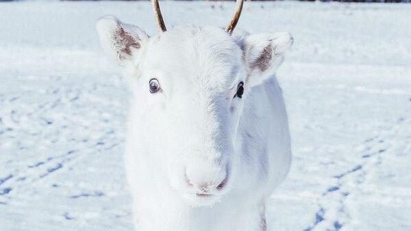 Белый олень-альбинос - Sputnik Азербайджан