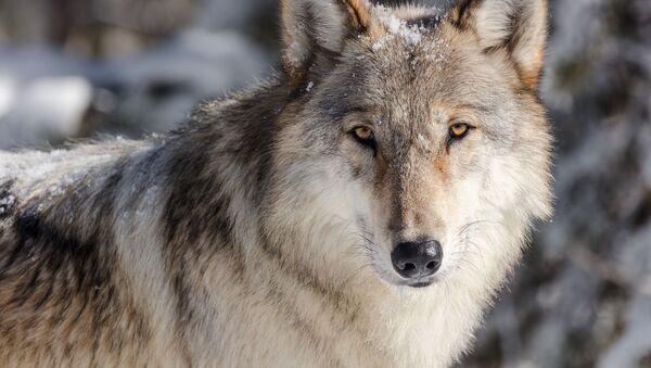 Волк, фото из архива - Sputnik Азербайджан