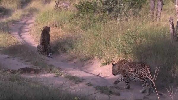Момент нападения одного леопарда на другого - Sputnik Азербайджан