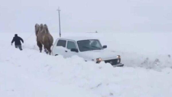 Верблюд вытаскивает машину из под снега в Саратов - Sputnik Азербайджан