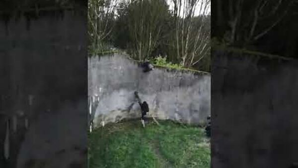 Шимпанзе пытается сбежать из зоопарка - Sputnik Азербайджан