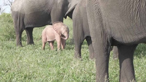 В Южной Африке нашли розового слоненка  - Sputnik Азербайджан