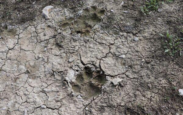Следы волков, напавших на стадо - Sputnik Азербайджан
