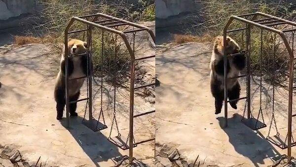 Зажигательный танец медведя   - Sputnik Азербайджан