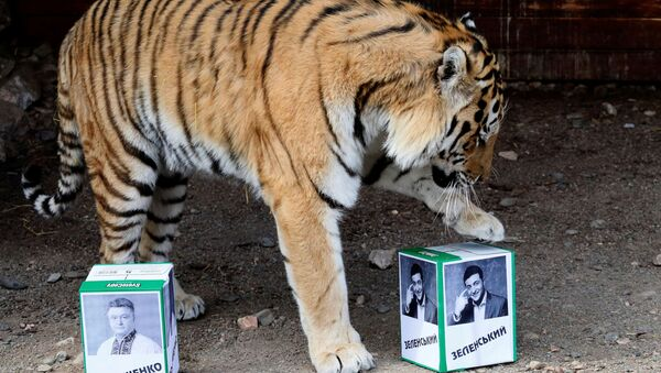 Бартек, самец амурского тигра, выбирает коробку с фотографией кандидата Владимира Зеленского, пытаясь предсказать победителя президентских выборов в Украине, в зоопарке Роев ручей , в Красноярске, Россия - Sputnik Азербайджан