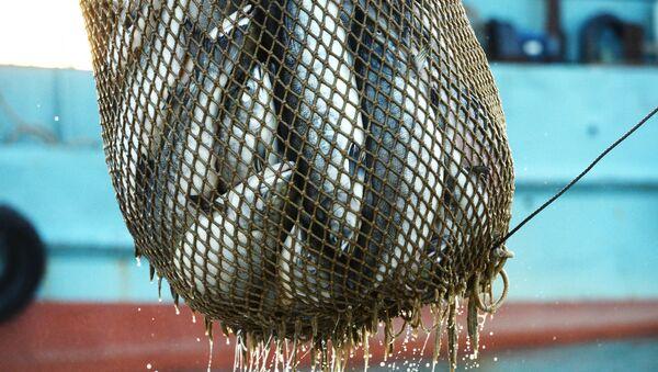 Массовый лов красной рыбы, фото из архива - Sputnik Азербайджан