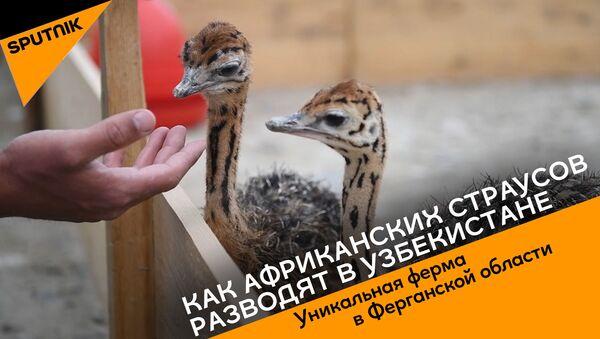 Как африканских страусов разводят в Узбекистане - Sputnik Азербайджан