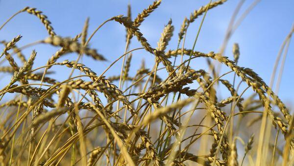 Колосья пшеницы - Sputnik Азербайджан