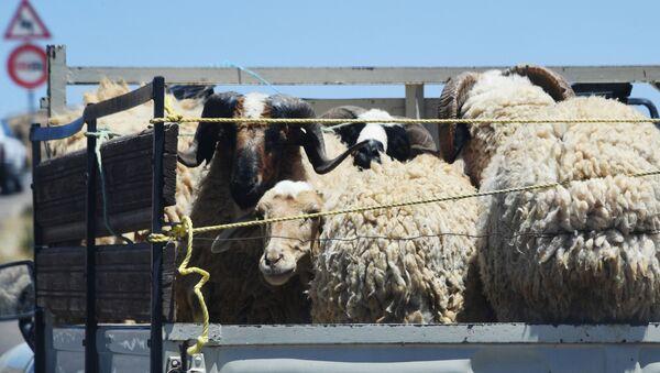 Бараны и овцы в кузове грузовика - Sputnik Азербайджан