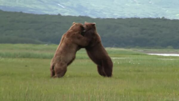 Поединок двух медведей сняли на видео   - Sputnik Азербайджан