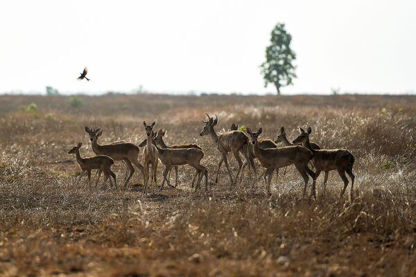 Стадо находящихся под угрозой исчезновения оленей-лира в заповеднике в Мьянме  - Sputnik Азербайджан