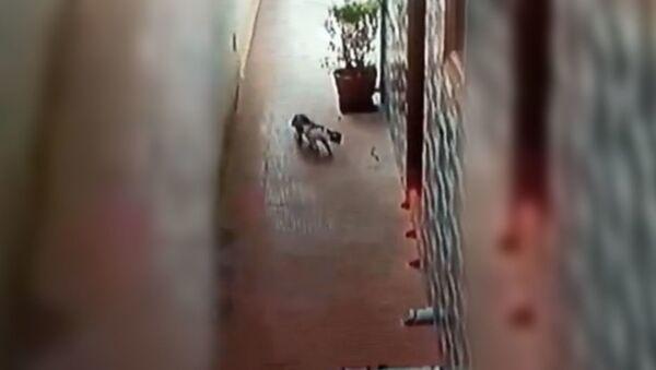 Домашняя кошка защитила хозяев от ядовитой кобры - Sputnik Азербайджан